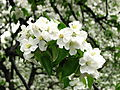 Apple blossom (Malus domestica) 04.JPG