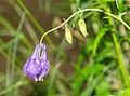 Aquilegia vulgaris in Aveyron (2).jpg