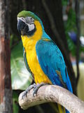 Ara ararauna -Singapore BirdPark-6.jpg
