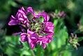 Arabis blepharophylla Spring Charm 0zz.jpg