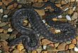 Arafura file snake (Acrochordus arafurae) in captivity.jpg