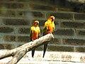Aratinga solstitialis -ZooParc de Beauval-4.jpg