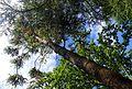 Araucaria angustifolia kz2.jpg