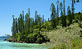 Araucaria columnaris Prony 1.jpg