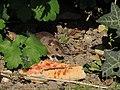 Arboretum Zürich - Hausmaus -fraglich- 2014-08-22 17-38-22 (P7800).JPG