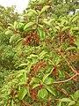 Arbutus andrachne fruit (Ab plant 100).jpg