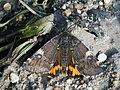 Archiearis parthenias - Orange underwing - Весенница берёзовая (40907678411).jpg