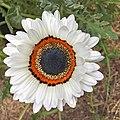 Arctotis fastuosa-IMG 3140.jpg