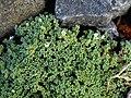Arenaria tetraquetra var granatensis 3.jpg