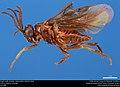 Argid sawfly (Argidae, Sphacophilus cellularis (Say)) (37534862171).jpg