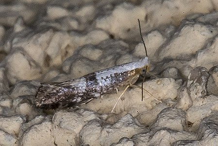 Argyresthia pruniella01(js), Lodz(Poland).jpg