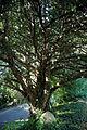 Arkesden yew tree Essex, England.jpg
