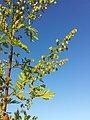 Artemisia annua sl3.jpg