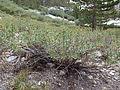 Artemisia rothrockii (7832380860).jpg