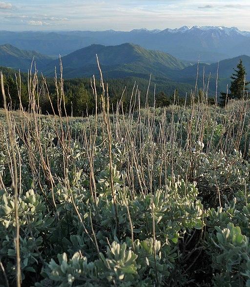 Artemisia tridentata ssp. vaseyana 1