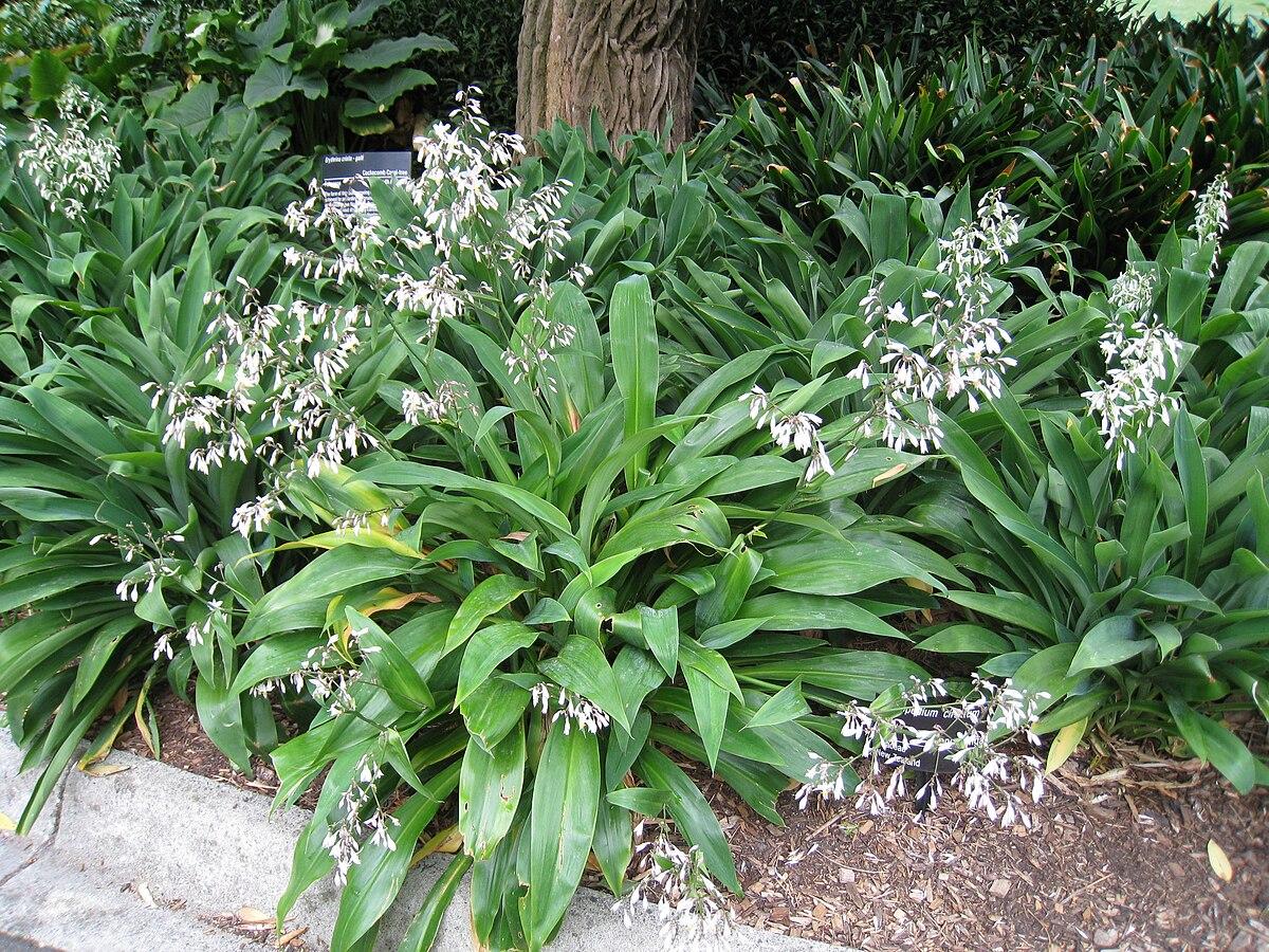 Arthropodium cirratum wikipedia for Garden plants