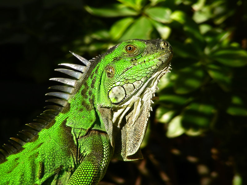 Portait of Green iguana (Iguana iguana) taken in Florida Keys, USA. Image courtesy Artur Pedziwilk via Wikimedia Commons.