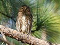 Asian Barred Owlet (Glaucidium cuculoides) (25737255668).jpg