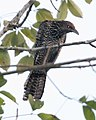Asian Koel (Eudynamys scolopaceus) - Flickr - Lip Kee.jpg