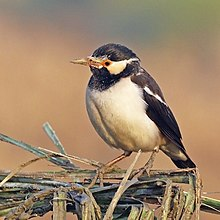 Asian pied starling (Gracupica contra).jpg