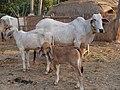 Asiatische Kuh.JPG