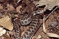 Asp Viper (Vipera aspis zinnikeri) neonate ... (Thanks to Jean NICOLAS) (43608040925).jpg