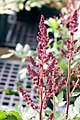 Astilbe chinensis Visions In Red 0zz.jpg