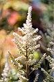 Astilbe japonica Rheinland 1zz.jpg