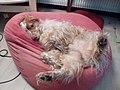 Astro chien.jpg