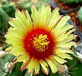 Astrophytum flower 206.jpg