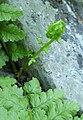 Athyrium filix-femina 1.jpg