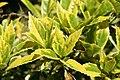 Aucuba japonica 3zz.jpg