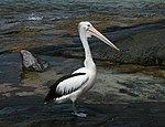 Australian Pelican Kioloa.jpg