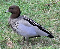 Australian Wood Duck Male