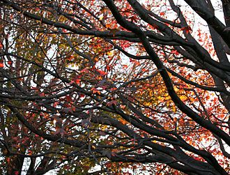 Centennial Parklands - Autumn leaves observed in Centennial Park, Sydney.