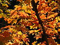 Autumn Leaves, 2015-10-10, 03.jpg