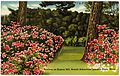 Azaleas on Bussey Hill, Arnold Arboretum, Jamaica Plain, Mass (71631).jpg