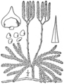 BB-0113 Lycopodium complanatum.png