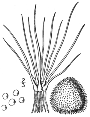 BB-0121 Isoetes braunii.png