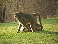 Baboons on the lawn - panoramio (3).jpg