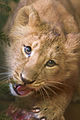 Baby lioness Naui (4276605939).jpg