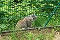 Bad Rippoldsau-Schapbach Alternativer Wolf- und Bärenpark Schwarzwald Luchs.jpg
