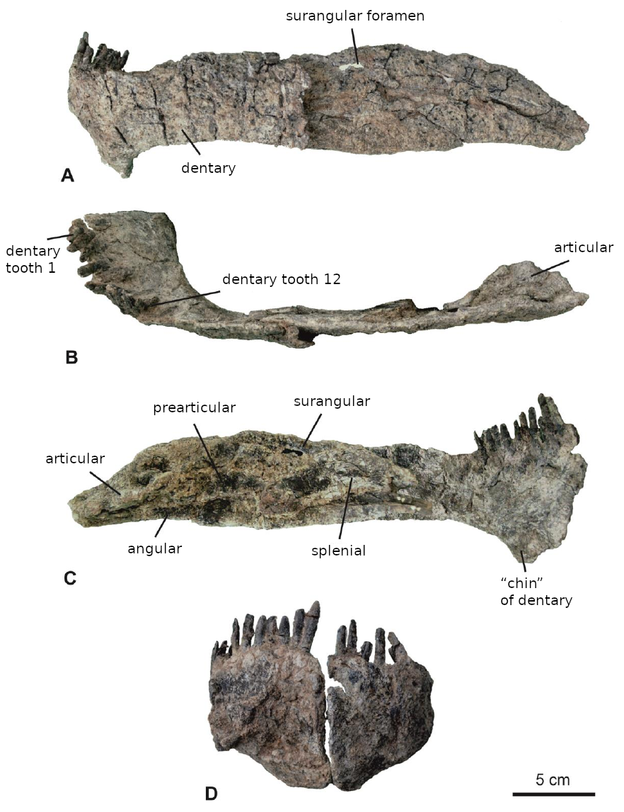 Bajadasaurus Lower Jaw edited