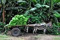 Banana Harvest, Ethiopia (8049495329).jpg