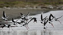 15 brown and white birds taking off from a shallow lake on an overcast day