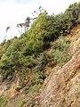Banksia integrifolia L.f. (AM AK288758-1).jpg