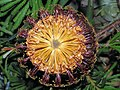 Banksia spinulosa 'Honeypots' suellens.jpg