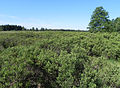 Bannetzer Moor Gagelstrauch i Sommer.jpg