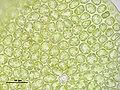Barbilophozia lycopodioides (e, 144812-474435) 6535.JPG