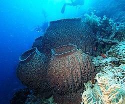 Barrel sponge (Xestospongia testudinaria).jpg
